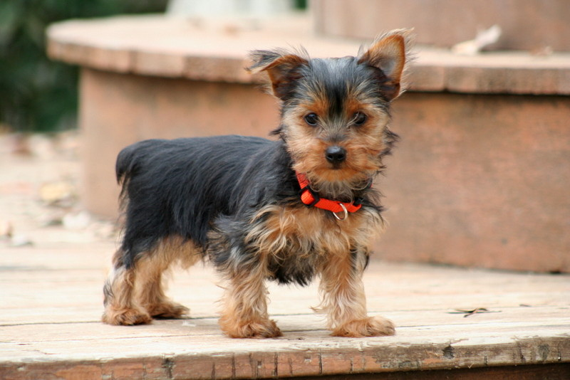 pictures of adult yorkies
