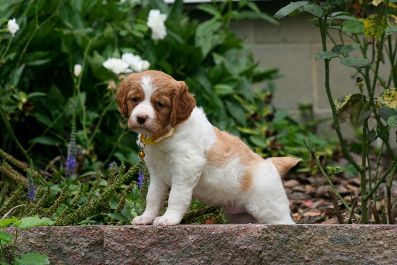 French Brittany New Puppies